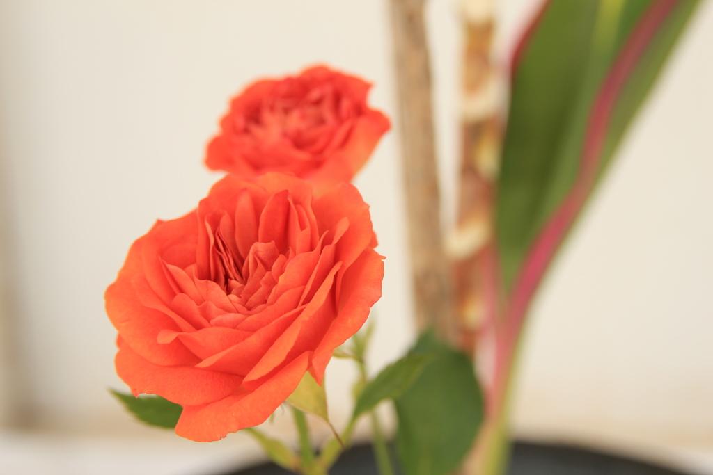 赤い薔薇(^^)/