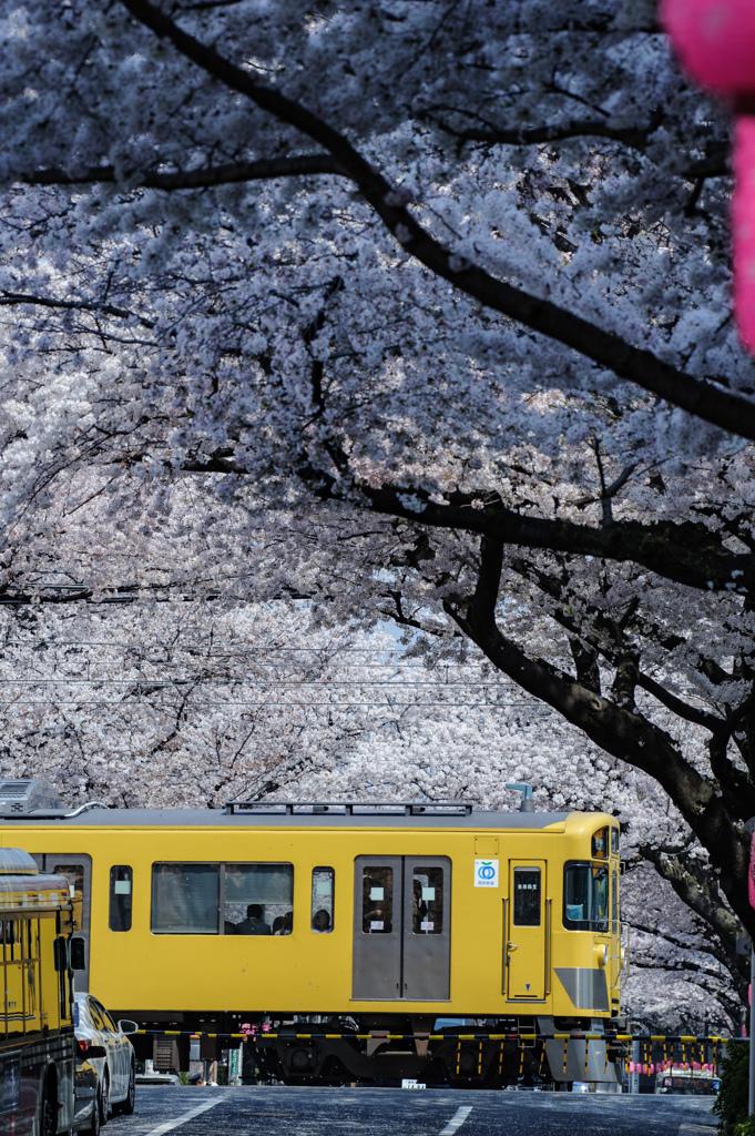 前略、桜のトンネルより