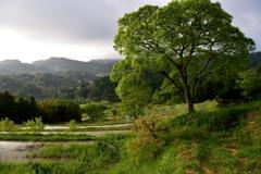 棚田の高木