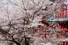 鼻顔稲荷神社の桜