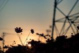 夕日と秋桜と鉄塔と