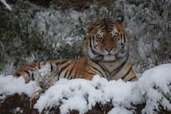 雪降って虎固まる。