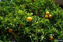 柑橘類ですが・・・