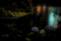 雨中のAPO-SUMMICRON Ⅱ