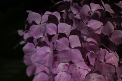 真夜中の紫陽花