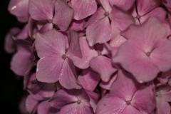 滝露の紫陽花