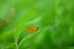 里山の蝶LXXII!