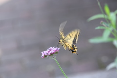 花と蝶CCCLVI!