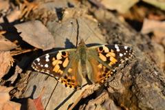 里山の蝶XLVII!
