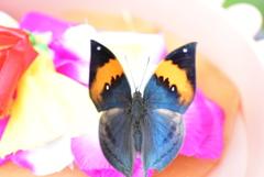 南国の蝶XIX!