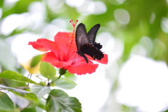 南国の蝶XXXI!