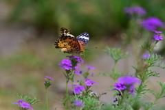 花と蝶CCXXIX!