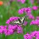 花と蝶Ⅰ(キアゲハ)