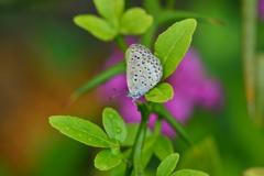 里山の蝶LVIII!