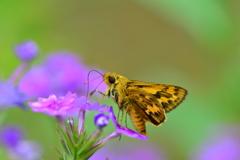 花と蝶CCXLIII!