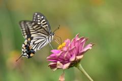 花と蝶CDX!