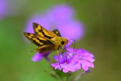 花と蝶CCXXXVI!