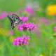 花と蝶Ⅱ(アゲハ)