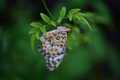 里山の蝶CXI!