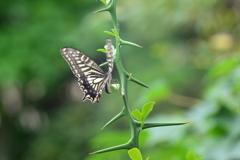 里山の蝶LXXXVII!