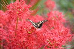 花と蝶CCCLXX!