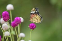 花と蝶CCXXXII!