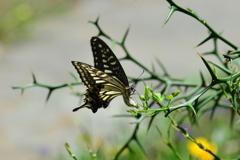 里山の蝶CXV!