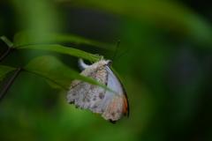 南国の蝶XXXIII!