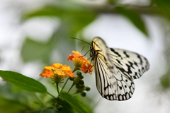 南国の蝶XLIX!