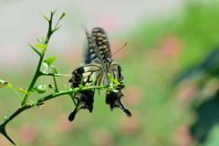里山の蝶CXIV!