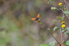 里山の蝶XLVI!