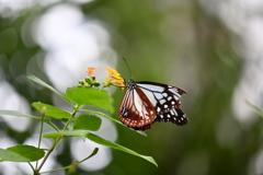 南国の蝶XLIII!