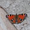里山の蝶XXXII!