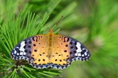 里山の蝶C!