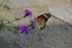 花と蝶CCXXVIII!