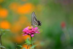 花と蝶CIV!