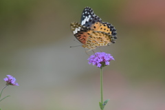 花と蝶CCXXXIV!