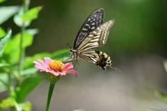 花と蝶XCV!