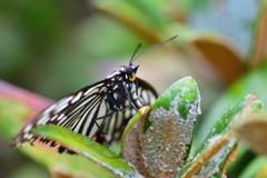 里山の蝶CXVII!