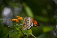 南国の蝶XLV!