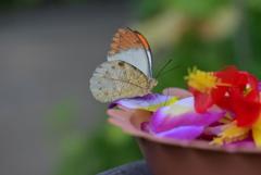 南国の蝶XVIII!