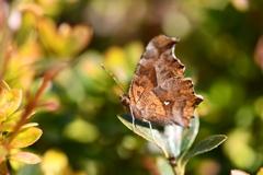 里山の蝶CXLV!
