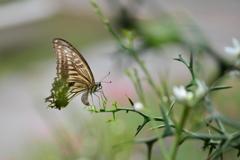里山の蝶CXII!