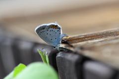 里山の蝶CXXVI!