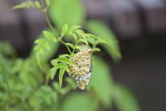 里山の蝶CXIII!
