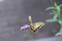 花と蝶CCCLV!