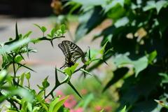 里山の蝶LXXXVI!