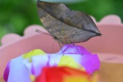 南国の蝶XX!