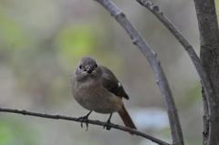 里山の野鳥XI!