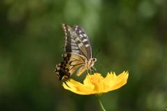花と蝶CCCL!